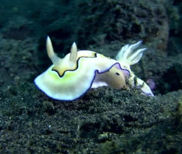 Nudibranch Chromodoris Coi Lifting Its Skirt