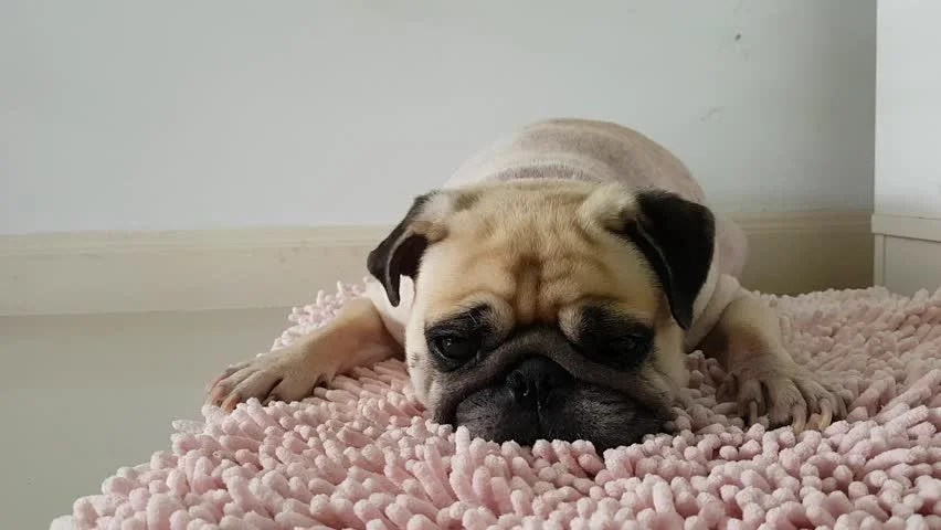 Closeup Face Of Cute Pug Puppy Dog Sleeping By Chin And
