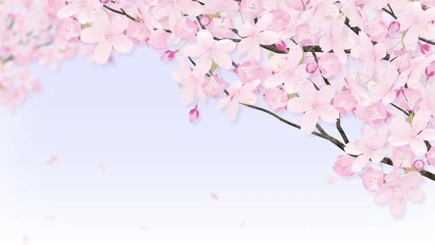 Falling Cherry Blossoms Wallpaper Falling Petals On The Cherry Blossom Arch Frame Stock