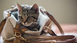 「cat inside bag」の画像検索結果