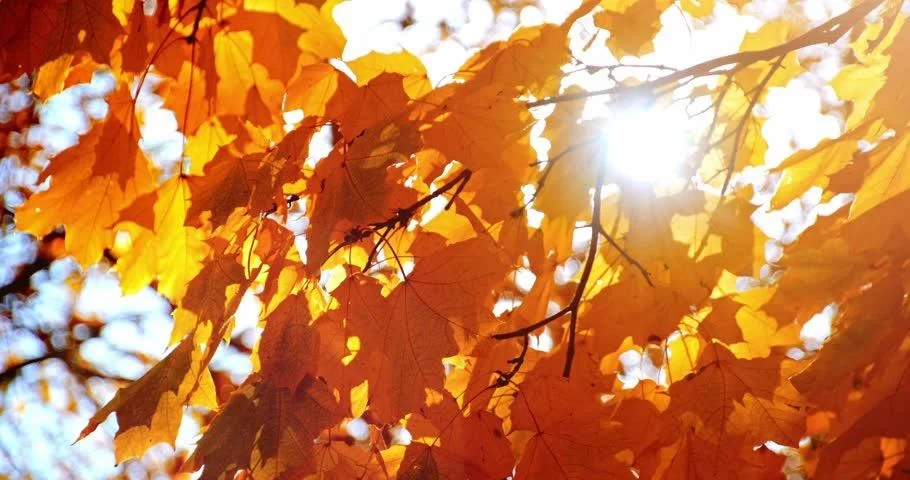 Birch Tree Fall Wallpaper Close Up On Falling Autumn Leaves Stock Footage Video