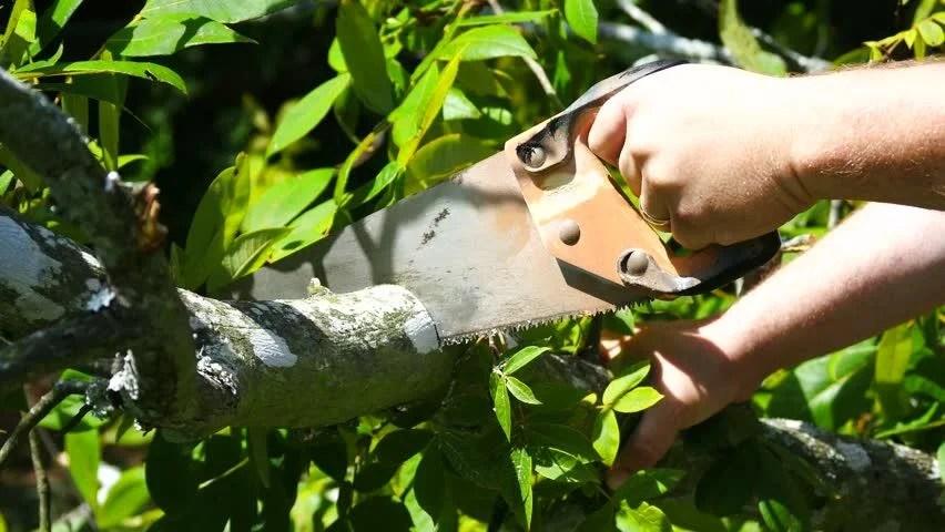 Hickory Tree Cut
