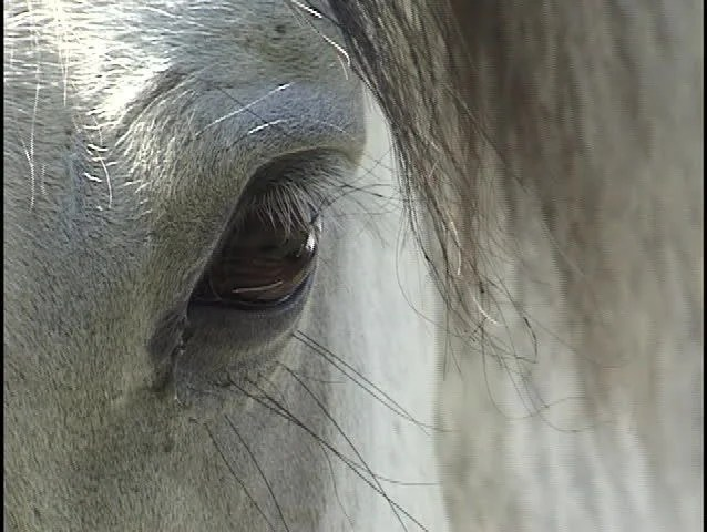 Close Up Of A Horses Blinking Eye And Long Eyelashes Stock Footage Video 410743 Shutterstock