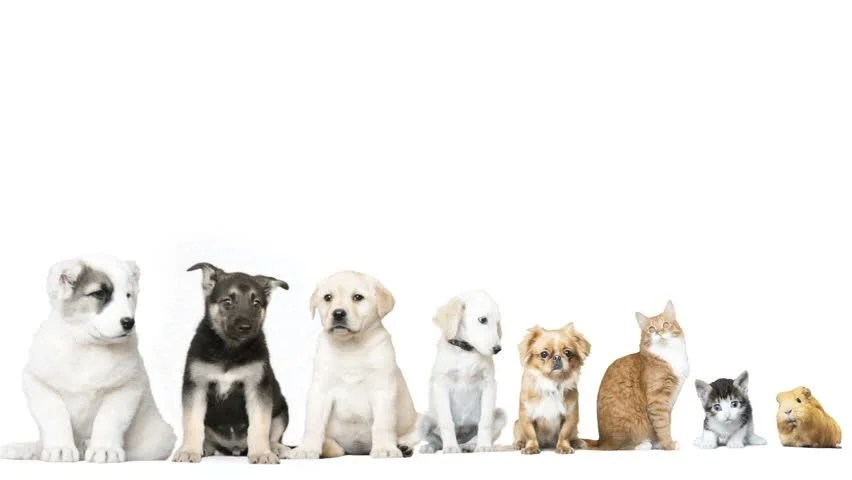 Cute Puppies Wallpaper White Pets On A White Background Stock Footage Video 100