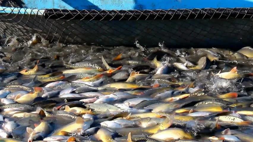 Farm Pond Fish Food