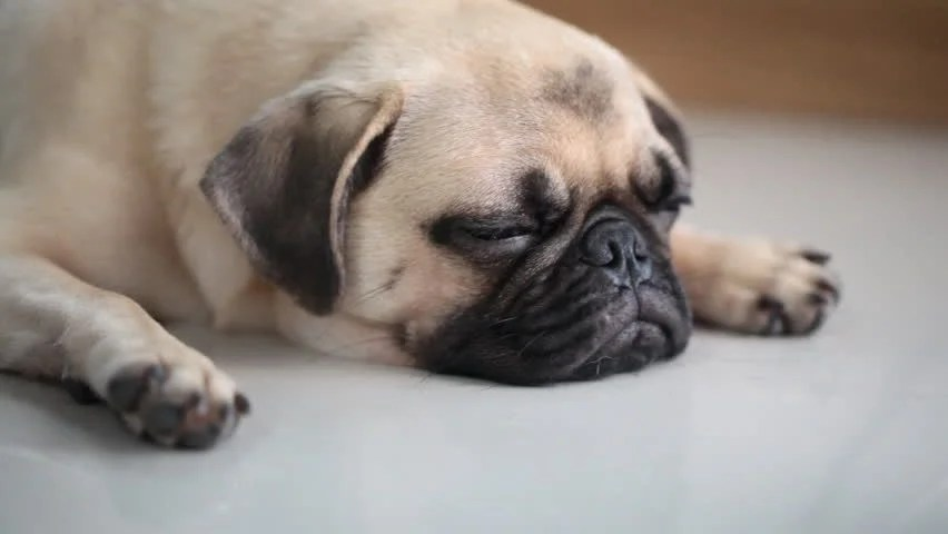 Closeup Face Of Cute Pug Puppy Dog Sleeping Rest By Chin