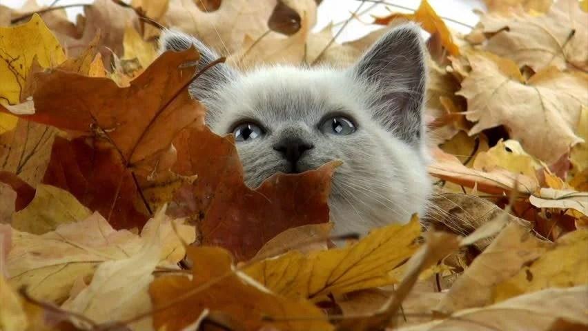 Free Hd Fall Desktop Wallpaper Cute Kitten Playing In Pile Of Fall Leaves Stock Footage