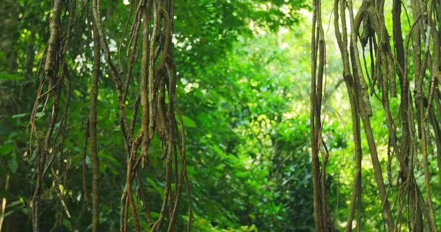 Beautiful Leaf Hd Wallpaper Aerial Roots And Liana Vines In Tropical Rainforest
