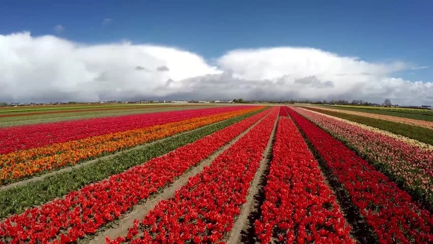 Shutterstock Hd Wallpapers Red Tulip Fields In Holland Netherlands Image Free