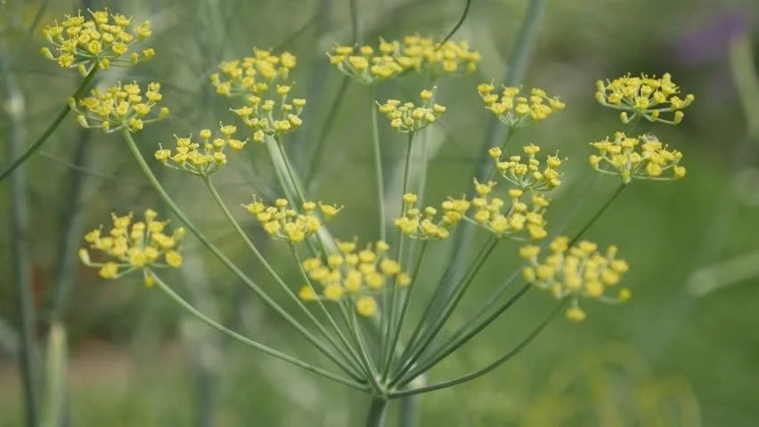 Perennial Fennel Herb Yellow Flowers Stock Footage Video (100 ...