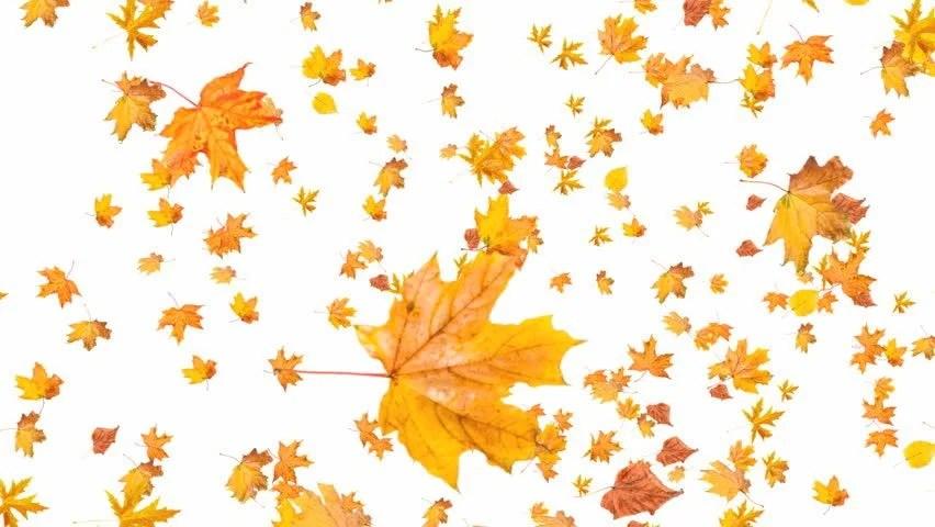 Autumn Tree Leaf Fall Animated Wallpaper Fall Orange Leaves On White Stock Footage Video 100