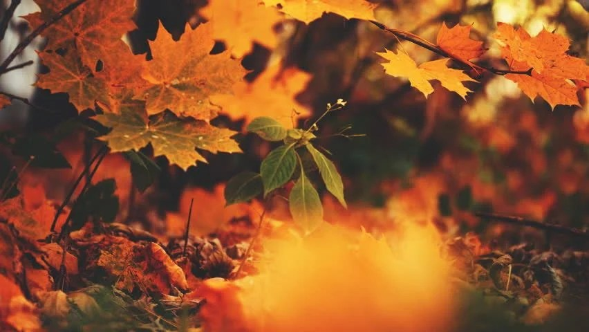 Tree With Leaves Falling Wallpaper Falling Leaves Stock Footage Video 2791648 Shutterstock