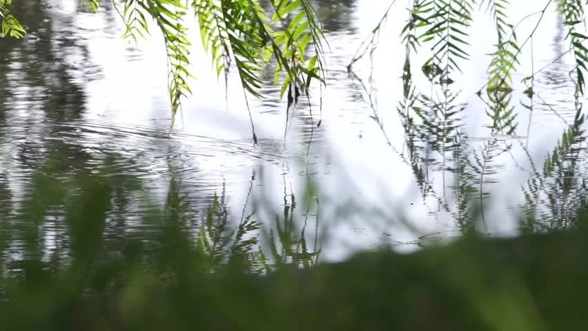 Weeping Willow Tree Branches Touch Stock Footage Video (100% Royalty-free) 20702989 | Shutterstock