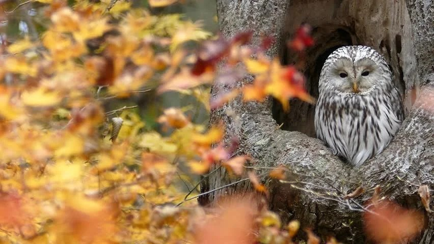 Microsoft Fall Wallpaper Wild Owl With The Autumn Leaves 스톡 비디오 20880799
