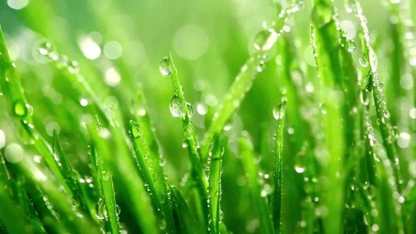 Drop Of Water Falling From A Leaf Wallpaper Blade Of Grass And Water Droplet Stock Footage Video