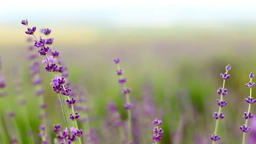 French Quotes Wallpaper Stock Video Of Lavender Flower Field Fresh Purple
