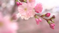 Sakura Spring Flowers. Spring Blossom Background ...
