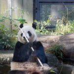 上野動物園の赤ちゃんパンダの状況はどうなったのでしょうか?GWにはお得な情報もあります!