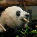 今年こそ、赤ちゃんパンダ誕生か!!
