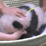 【パンダ情報】パンダの赤ちゃん生後3カ月で名前発表は?!そしてお得なパスポートも再販!