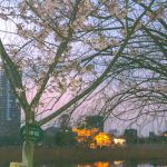 暖か陽気で『河津桜』も咲いています