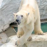 上野動物園、3月20日で137周年!シロクマの毛の色は何色?