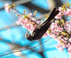 上野寛永寺根本本堂桜とヒヨドリ02