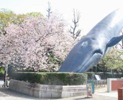 国立科学博物館クジラのオブジェ桜_01