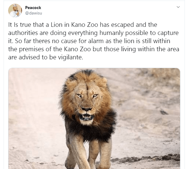 Lion escapes from Kano Zoo lindaikejisblog 1