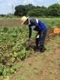 ジャガイモ収穫風景