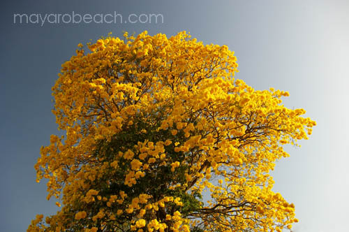 A Yellow Poui in bloom at the University of the West Indies, St. Augustine Trinidad and Tobago
