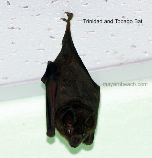 Trinidad Bat