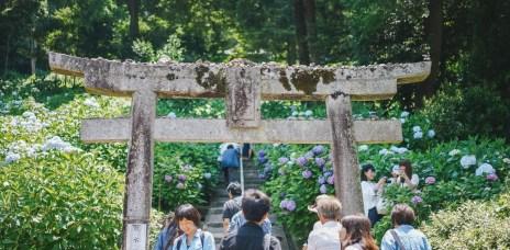 岡山「吉備津神社」初夏繡球花海,一掃梅雨季陰霾