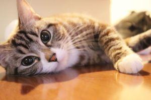 猫の写真、ペット、ねこ、ネコ