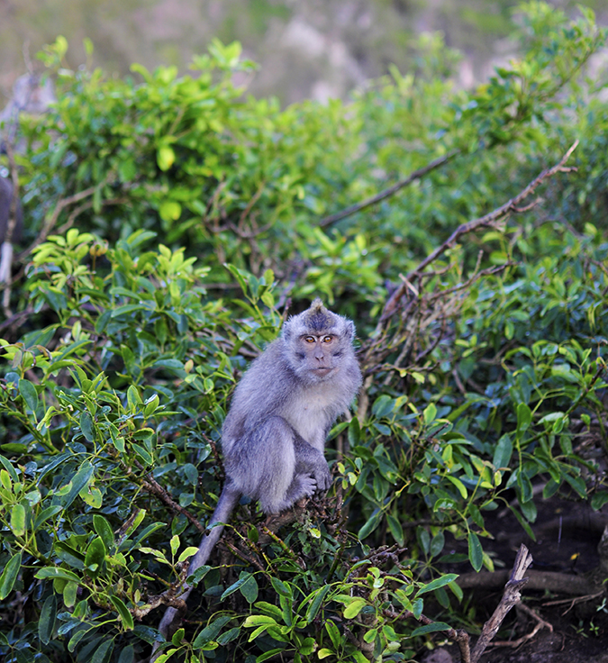 Mount Batur Sunrise Trek | Bali | Akanksha Redhu | monkey