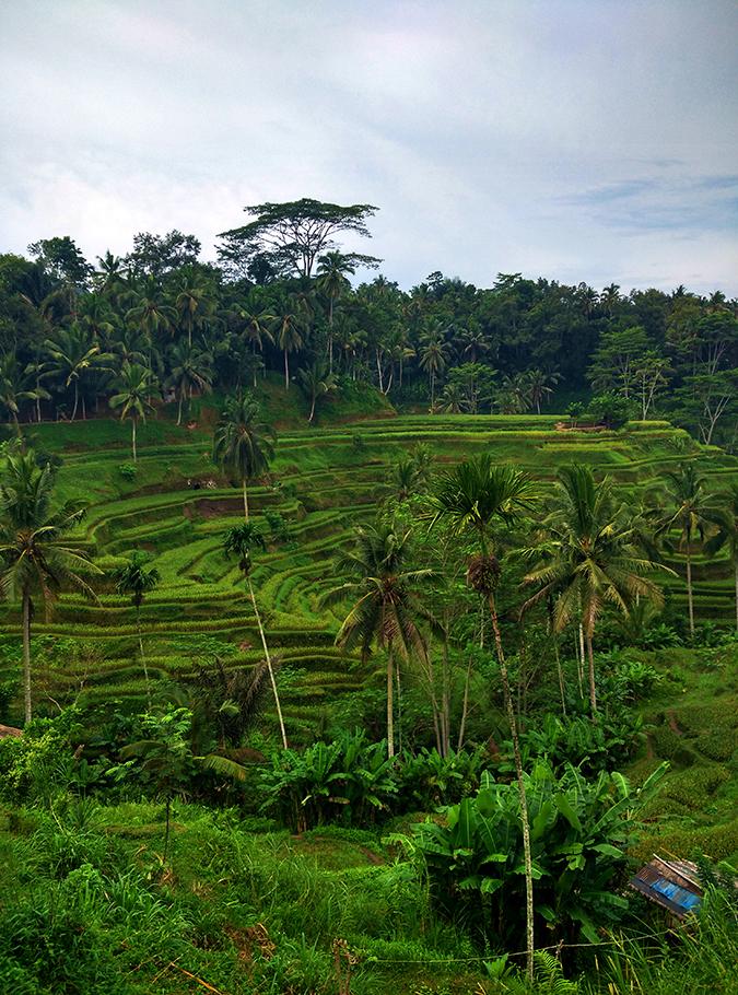Tegalalang Rice Terraces - Ubud | Bali | Akanksha Redhu | phone terrace 2