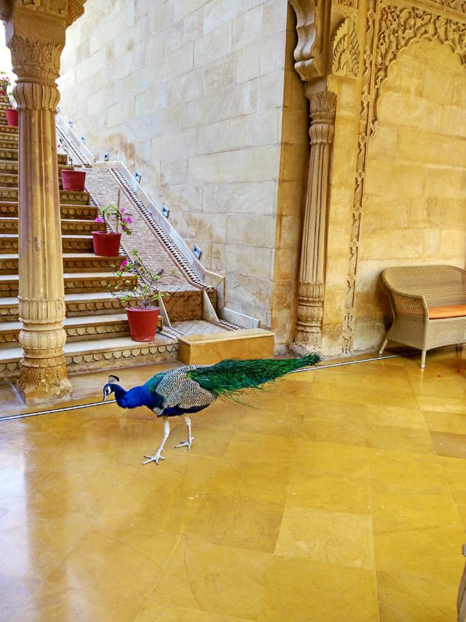 Suryagarh Jaisalmer | Akanksha Redhu | peacock
