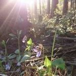 森の中のスミレ