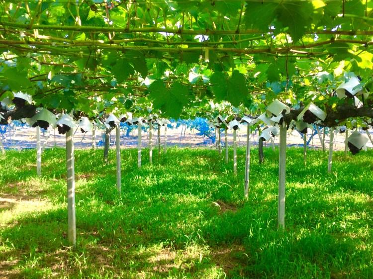 山際さんのブドウ畑。