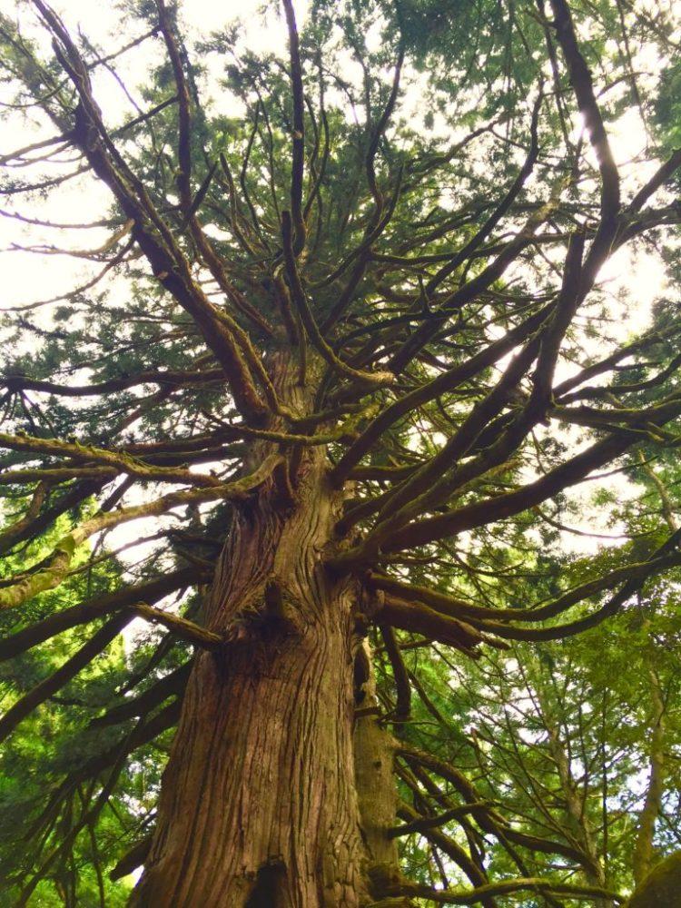 若宮の大杉1