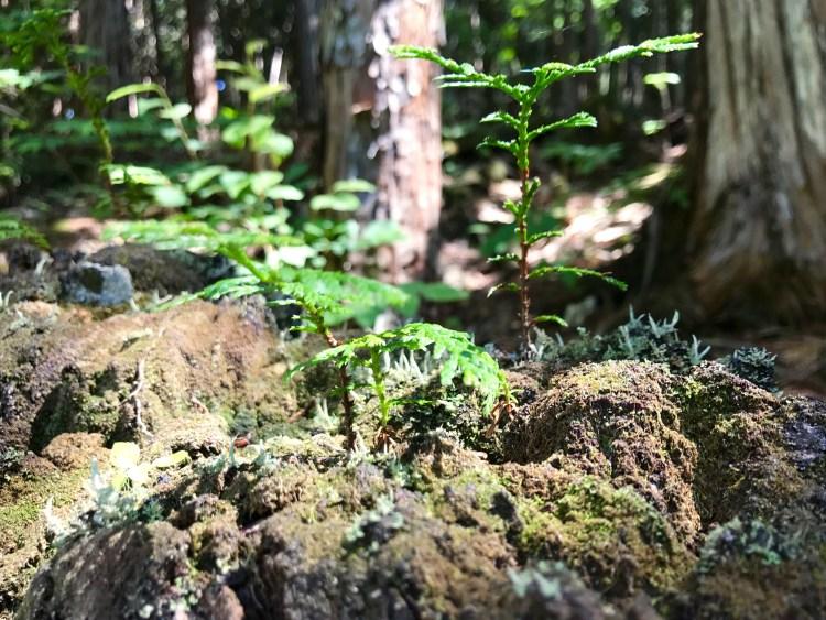 ヒノキの芽。