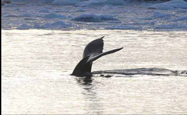Редкое явление: киты-горбачи пришли в гости к украинским полярникам – фотогалерея