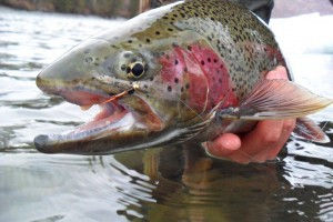 A beautiful trout from the Kenai River