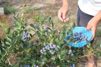 oga_blueberry_03