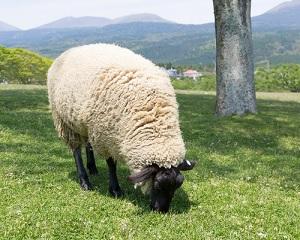 マイクラの羊がいなくなるのはデスポーンかオオカミにやられた?