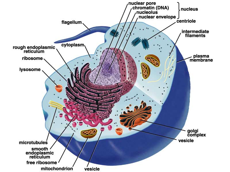 endoplasmic reticulum animal cell diagram 2001 nissan sentra wiring kinney s project plant and