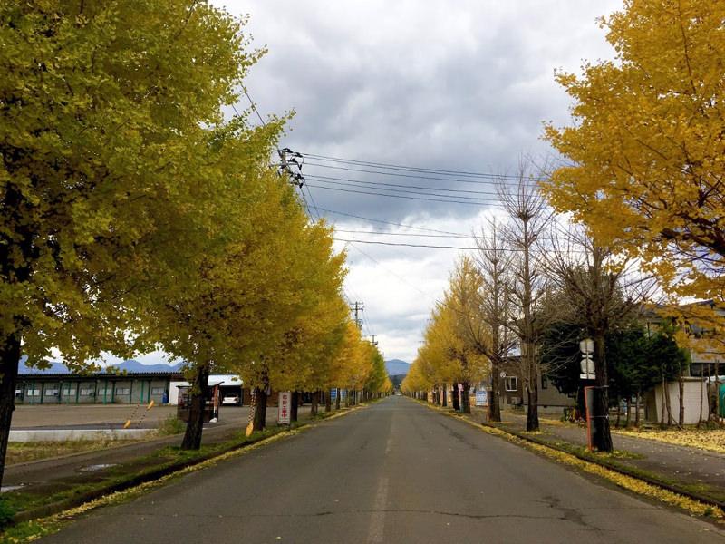 大田面 銀杏(いちょう)の並木道(秋田県大館市)