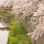【名古屋】山崎川の桜〜名古屋城でお花見してきた【2017/4/10】