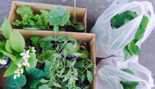 お庭通信2017〜5月26日・野菜の苗を植えたよ〜