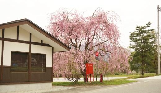 【2018年】山形県西置賜郡白鷹町 道の駅白鷹ヤナ公園のしだれ桜